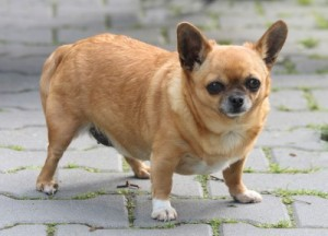 fat chihuahua to lose weight
