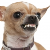Stop Chihuahua Aggression